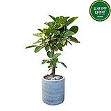 뱅갈고무나무 실내공기정화관엽식물 개업축하화분 DLP-374|
