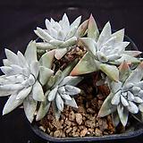 12-26 화이트그리니목대|Dudleya White gnoma(White greenii / White sprite)