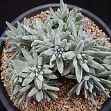 12-26 화이트그리니20두|Dudleya White gnoma(White greenii / White sprite)