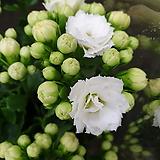 [진아플라워] 몽글몽글 겹꽃 가랑코에 칼란디바 035|