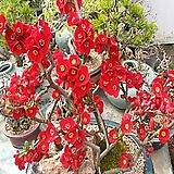 [진아플라워] 이른 봄꽃 사군자 홍천조 홍매화 설중매 350|