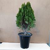 [진아플라워] 사철 푸른 정원수 측백나무 350|