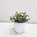 차이니즈자스민/공기정화식물/반려식물/온누리 꽃농원|