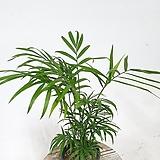 풍성한 테이블야자 공기정화식물 실내식물 음지식물 수경재배 공기정화식물