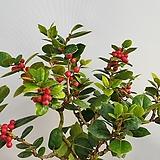 드와프버포드호랑가시나무|