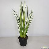 무늬석창포 석창포 머리가맑아지는식물 공기정화식물|