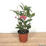 천냥금 공기정화식물 빨간열매 초특가|