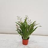 환타지아 핑크/공기정화식물/반려식물/온누리 꽃농원|