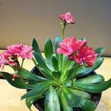레위시아( 꽃이 여러번 오는아이에요)  색상이 예뼈요 