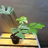 히메몬스테라(수입식물)  중품(새순이 생겼네요)|