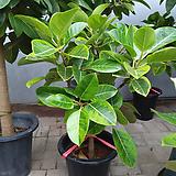 원목뱅갈고무나무-초미세먼지탁월100|Ficus elastica
