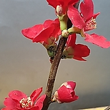 홍천조(개량 매화나무) 한목대  빨간꽃이 피는 아이에요 