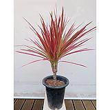 드라세나레인보우(포트) 공기정화식물 실내화초|Dracaena