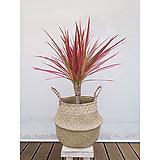 드라세나레인보우+라탄바구니 세트 실내인테리어거실화분 화초|Dracaena