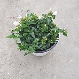 차이나자스민 중품 야생화 공기정화식물 20~30cm 99|