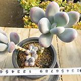 묵은 홍미인(자연군생목대)-783|Pachyphytum ovefeum cv. momobijin