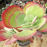 묵은 당인금(변이/33cm왕특대품한몸)-530|Kalanchoe thysifolia
