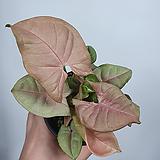 핑크싱고니움 공기정화식물 초특가|