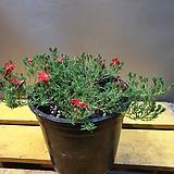 묶은둥이 초연초(중품) 빨강색 꽃망울이 맺어 있어요 
