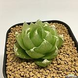 락우디(Haworthia lockwoodii)|