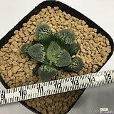 빙상의무(氷上の舞) 친자구 소묘 (Haworthia Hyozo-no-mai, offset)|