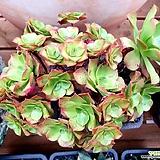 에오니움 미인경 32두자연군생(철화풀린아이)-|Aeonium canariense