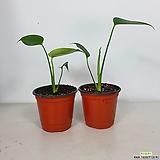 몬스테라 1+1 2포트세트 몬스테라 공기정화식물 초특가|
