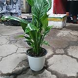 천연가습기 스파트필름 중품 공기정화식물 40~60CM 69|