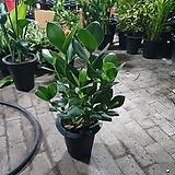 쿠루시아 크루시아 중대품 공기정화식물 50~70CM 129|