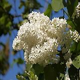 라일락나무(유럽접목라일락),프리더,목하원예조경|