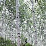 자작나무(1년생특묘),기간할인상품,목하원예조경|