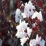 자엽백일홍(블랙다이아몬드)흰색꽃,삽목2년,목하원예조경|
