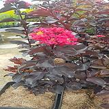 자엽백일홍(블랙다이아몬드)빨강꽃,삽목2년,같이가치농원|