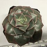 롱기시마 v.롱기시마 나이배기 대품 (Echeveria longissima v. longissima, offset)|