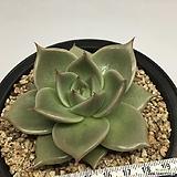 제이드스타  (Echeveria agavoides 'Jade Star', offset)|