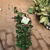 아이들이좋아하는 사다리아이비 공기정화식물 40~50cm 99|Heder helix
