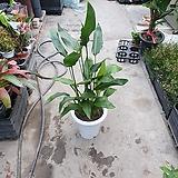 다발극락조레기니아 꽃피는극락조 60~90cm 299|