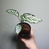 칼라데아 바이카주 수입식물 59 