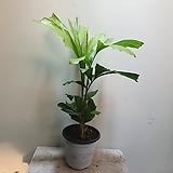 공작야자 Fishtail palm 119 