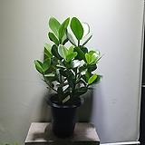 쿠루시아 고무나무 중대품 149 Ficus elastica