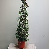 송악아이비 트리 덩굴식물 299 Heder helix