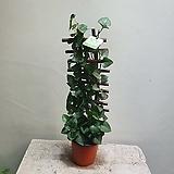 사다리 아이비 덩굴식물 99 Heder helix