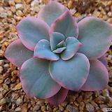 핑크하린금6072