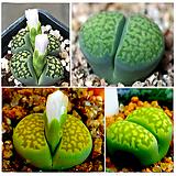 리톱스씨앗 말라치테믹스씨앗 20립 (lithops salicola malachite)다육이 화분 비료 분갈이 철화 선인장 분재 꽃|