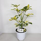 무늬홍콩 홍콩야자 사진상품발송 B-01 공기정화식물|