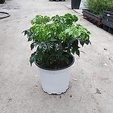 해피트리 중품 공기정화식물 25~30cm 69|