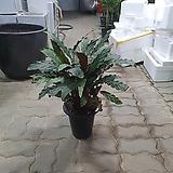 칼라데아루피바르바 40~60cm 수입식물|