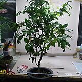 제비꼬리동백-대품-잎이 제비꼬리를 닮아-동일품배송|