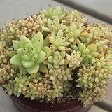 동운철화|Agavoides f.cristata Echeveria