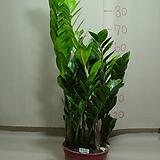 금전수2번-돈나무-요고사면 돈이 굴러들어와요~동일품배송|Zamioculcas zamiifolia